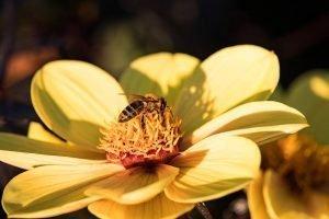 extractie miere de albine pentru masca de fata