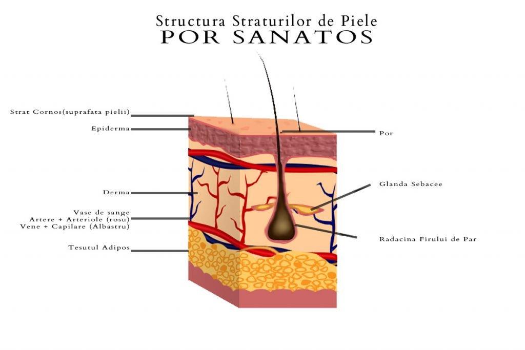 Acnee - Structura Pielii